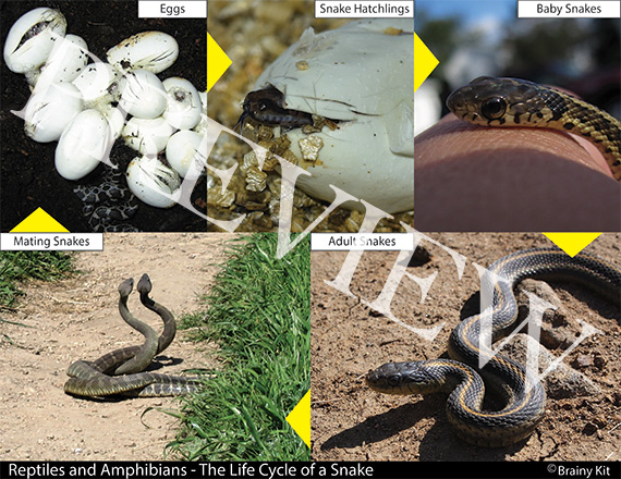Reptile and amphibians - snakes are reptiles and they are born from eggs.