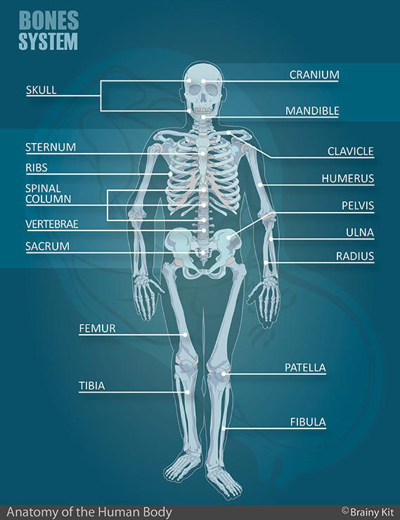 Human Bone System Anatomy Diagram for Kids