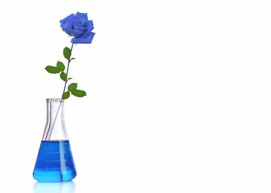 A blue rose in blue water in a preschool science experiment.