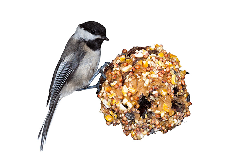 A small bird eating from a pine bird code feeder, as created during science experiments for preschoolers.